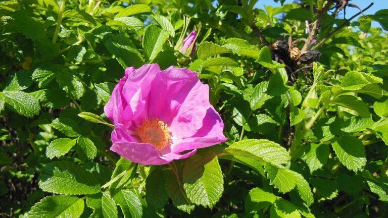 kwitnąca rosa rugosa